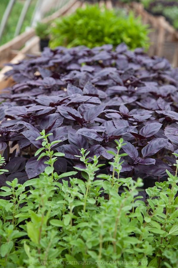 Ocimum basilicum purpurascens (mid-ground) - Red Rubin Basil. Sweet ...
