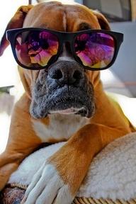 dog# boxer