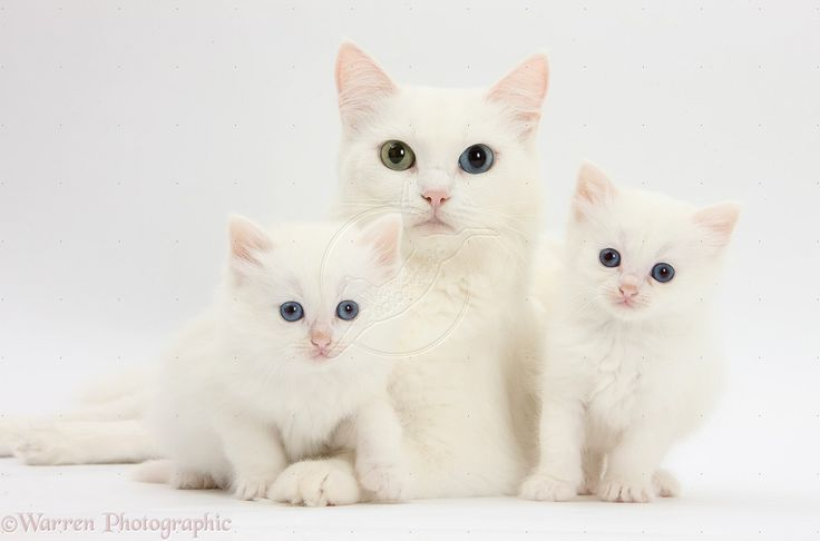 Are Solid White Cats With Blue Eyes Deaf