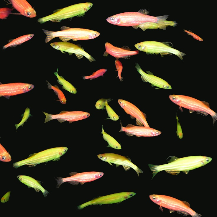Glofish. These are beautiful!! In Love With These Animals! Pinter ...
