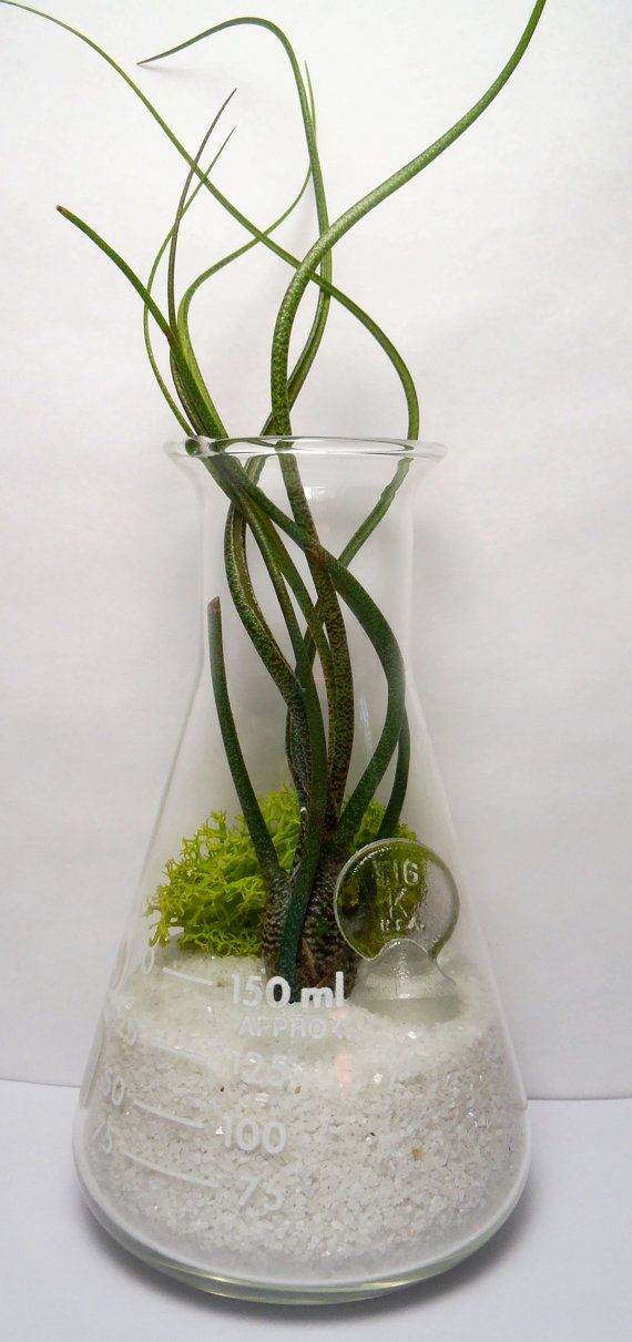 erlenmeyer flask air plant terrarium laboratory flask with tillandsia. Black Bedroom Furniture Sets. Home Design Ideas