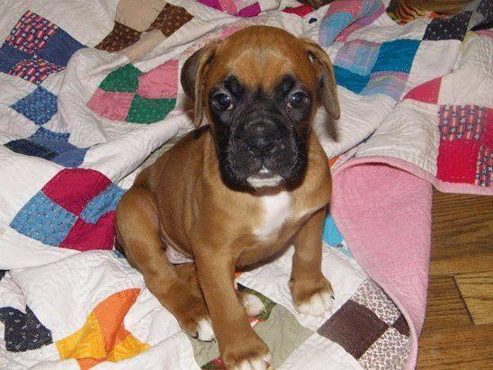 Boxer baby