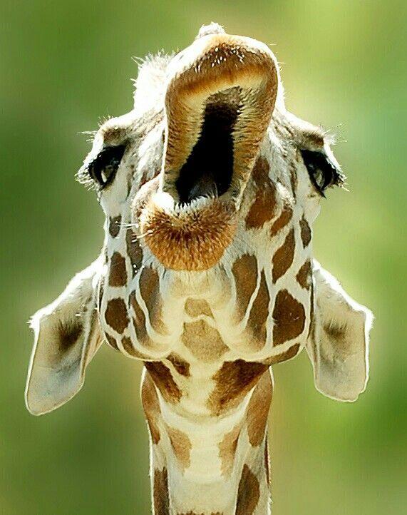 yawning giraffe - photo #2
