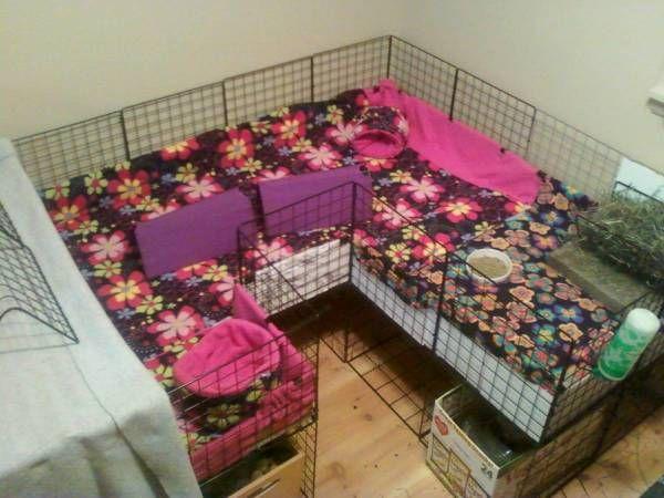 cute cage guinea pig