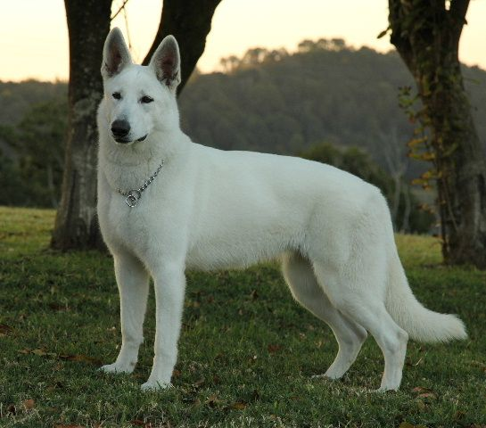 white swiss shepherd dog white shepherds pinterest german shepherd clip art svg german shepherd clip art svg