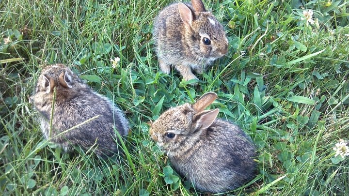 Wild Backyard Rabbits : Wild baby bunnies these look like the ones I have in my backyard!