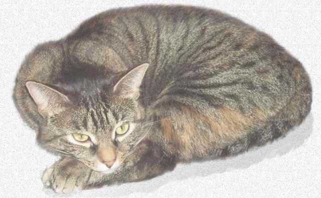 savannah cats for sale nc