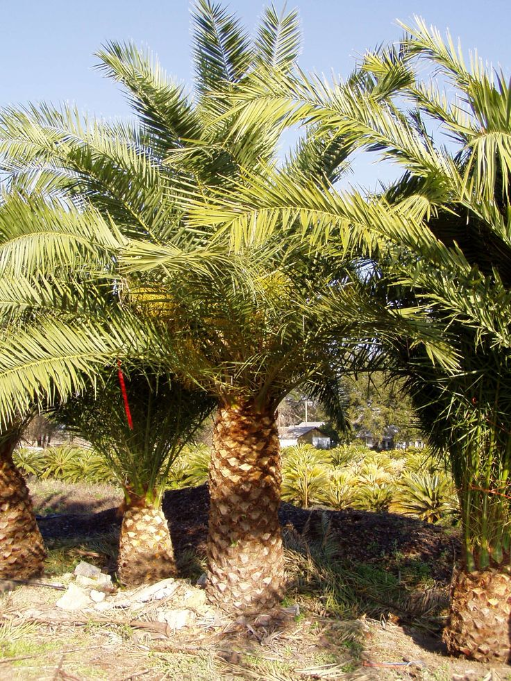 canary island date palm trees pictures 1 1 canary island