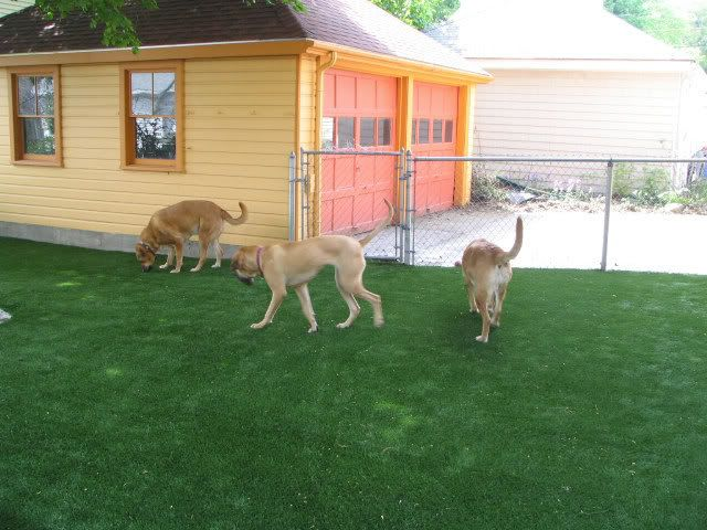 Turf Backyard Dogs : RE Anyone ever use K9 artificial turf for Dogs? clip this post email