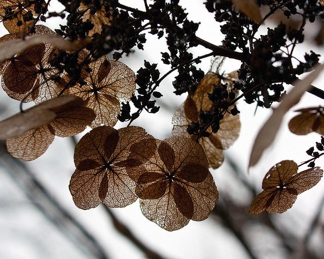 oak leaf hydran... Oak Leaf Hydrangeas In Winter
