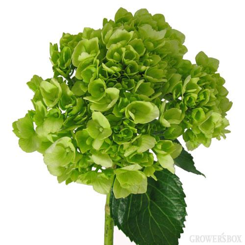 Green Hydrangea are stunning wholesale flowers which can often be found adorning bouquets and arrangements of wedding flowers and other event decor. Green Hydrangea are fun, festive and go with just about anything! These flowers are especially popular for spring weddings and celebrations. Shop wholesale Hydrangea online at www.GrowersBox.com.