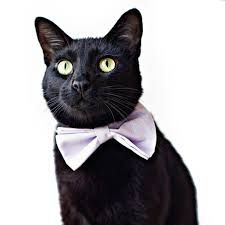 Cat bow tie google search cats wearing bow ties pinterest