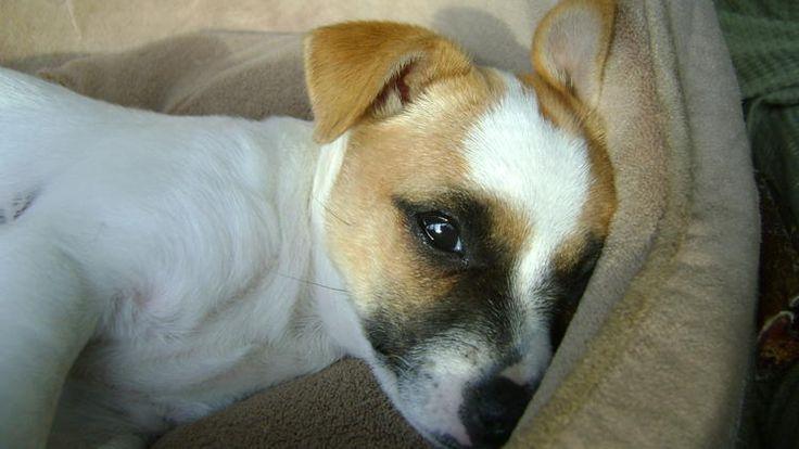Popita the Basenji / Chihuahua / Jack Russell Terrier Mixed Breed!