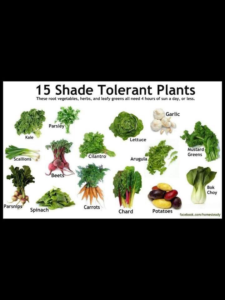 Shade Tolerant Edible Plants Garden Pinterest