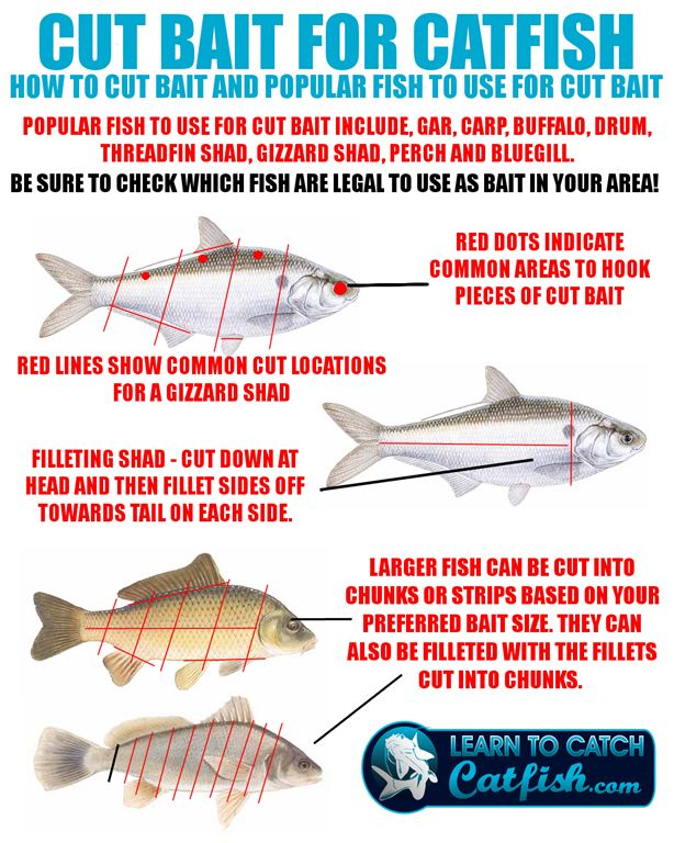 Cut bait catfishing pinterest for Cat fish bait