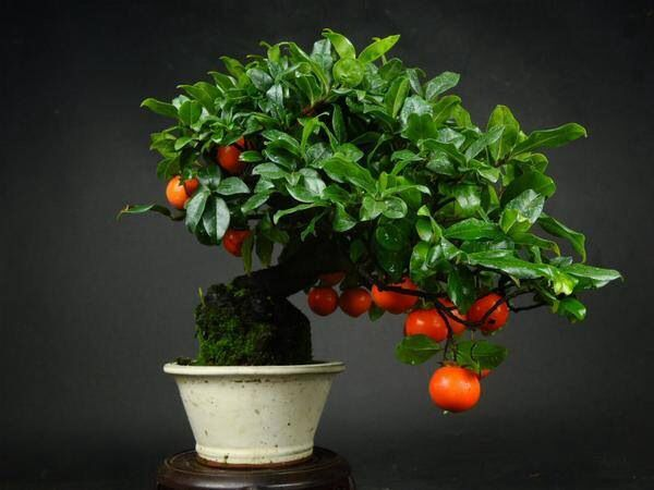 bonsai fruit tree garden pinterest