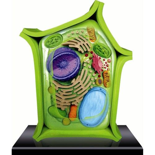 3d plant cell model 3d cell model science project pinterest