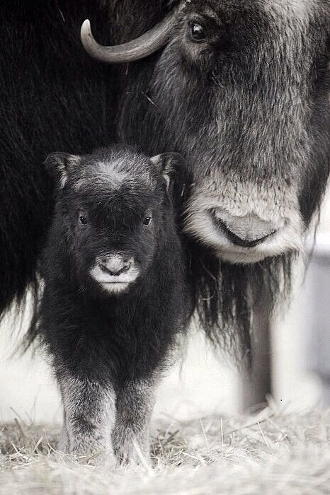 Black and White Buffalo Image