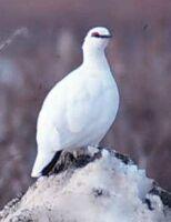 nunavut territorial bird