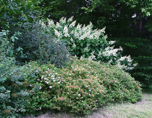 Shrub border for privacy great garden ideas pinterest - Shrubbery for privacy ...
