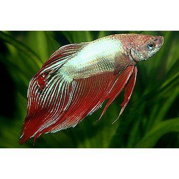 Male cambodian veiltail betta freshwater aquarium fish for Male veiltail betta fish