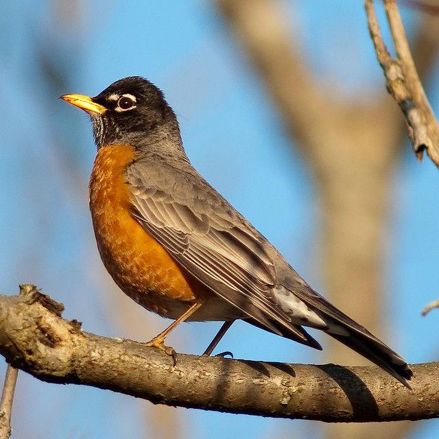 american robin bird flying - photo #40