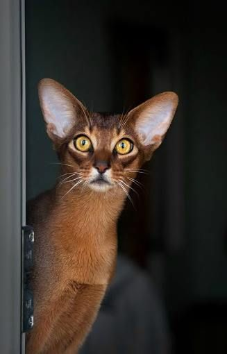 All ears cats pinterest