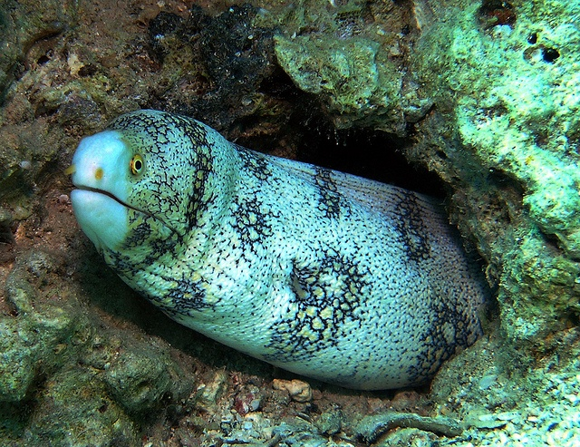 Snowflake Eel, also known as the Snowflake Moray Eel, Clouded Moray ...