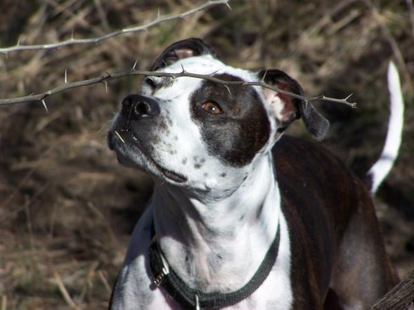 Petey - a whippet, shih tzu, boxer, boston terrier mix