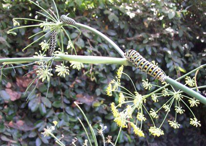 Mary Queen Of Scots Imprisonment anise swallowtail cate...
