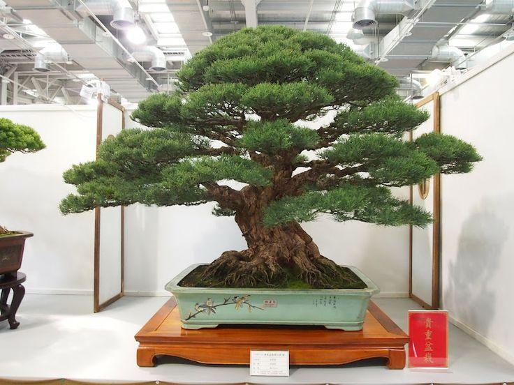 Casuarina equisetifolia bonsai | plants | Pinterest