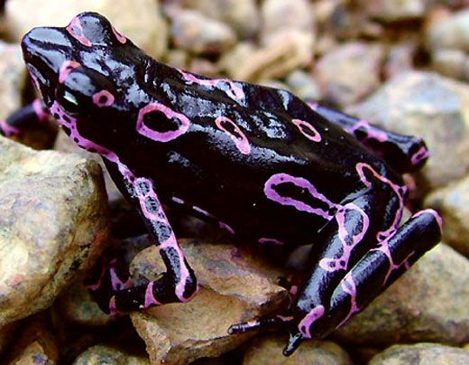 The purple fluorescent harlequin frog was discovered in Suriname in 2007.  It was one of 24 new species discovered whose lives are being threatened by illegal gold mining.