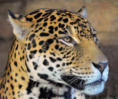 Jaguar 0733 Creatures Magnificent Mammals Of All Kinds