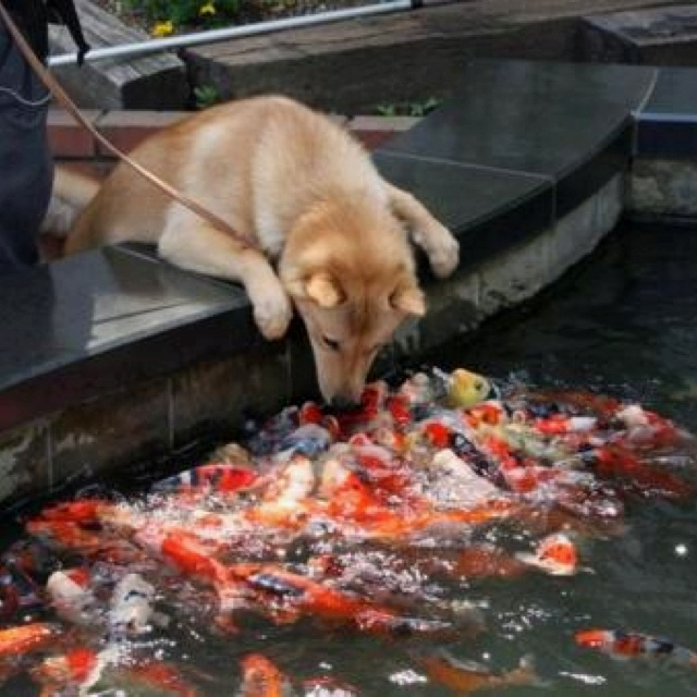 Dog meets koi fish animals pinterest for Fish for dogs