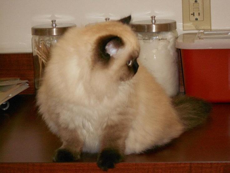 Persian Himalayan Mix Cat