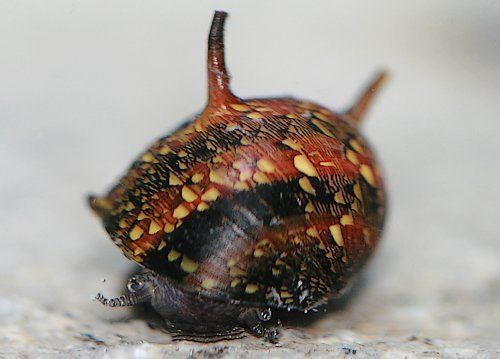 Horned Nerite Snail (Assorted) - (4) - Elite Inverts Store