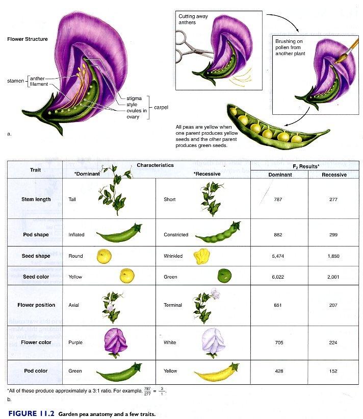 Mendel Pea Plant Experiment on pea plant genetics worksheet