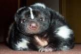 smiling   skunk