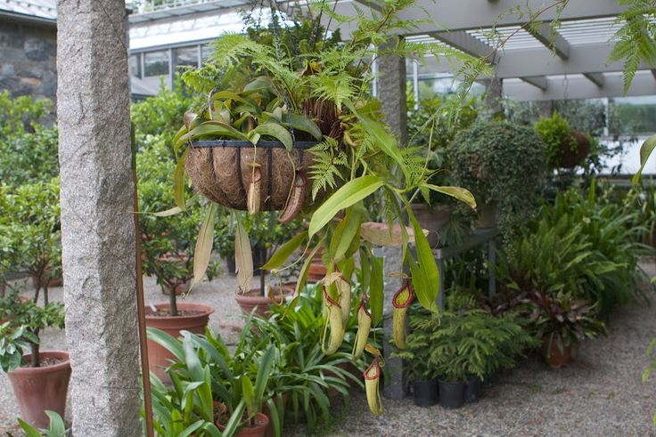 This unusual plant is a carnivorous Nepenthes.