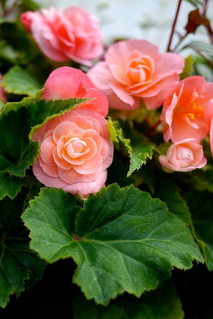 begonia elatior flowers begonias impatiens pinterest. Black Bedroom Furniture Sets. Home Design Ideas