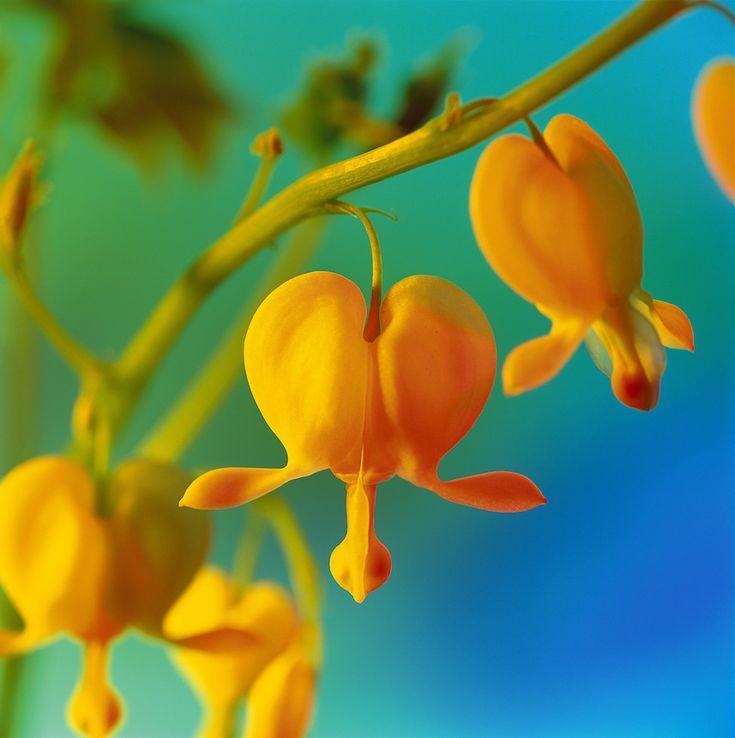 Bleeding Heart Flower Yellow Bleeding Heart