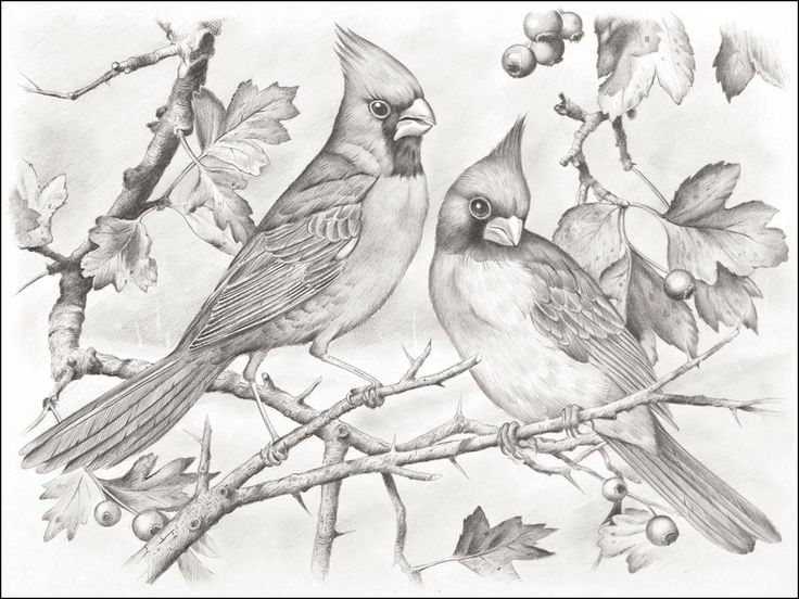 free cardinal bird coloring pages - photo#35