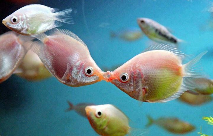 Kissing Gourami a.k.a kissing fish A Love Community Board Pintere ...