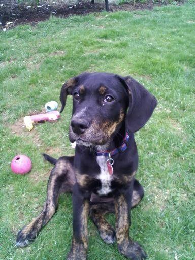 Dog Ready For Adoption Golden Retriever Medium Coat Named Libby In ...