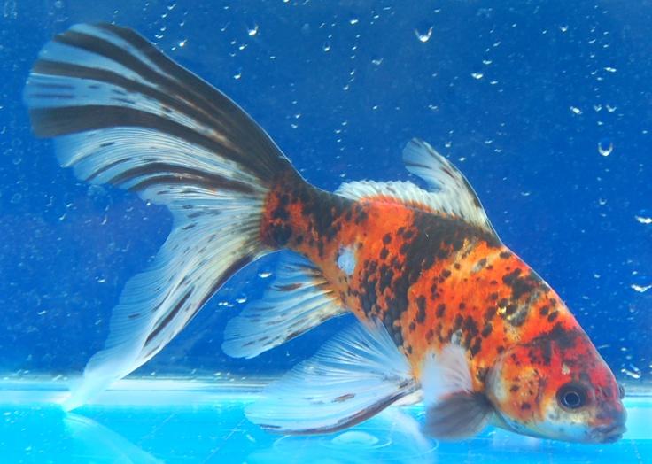 Shubunkin gold fish beautiful fish pinterest for Shubunkin fische