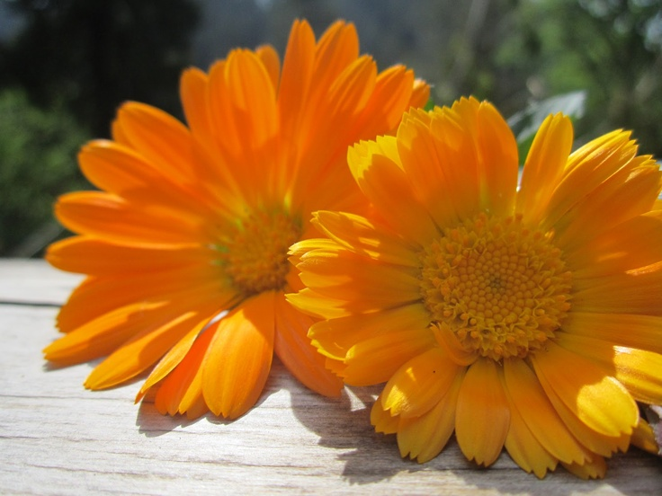 October Calendula Birth Flowers Pinterest