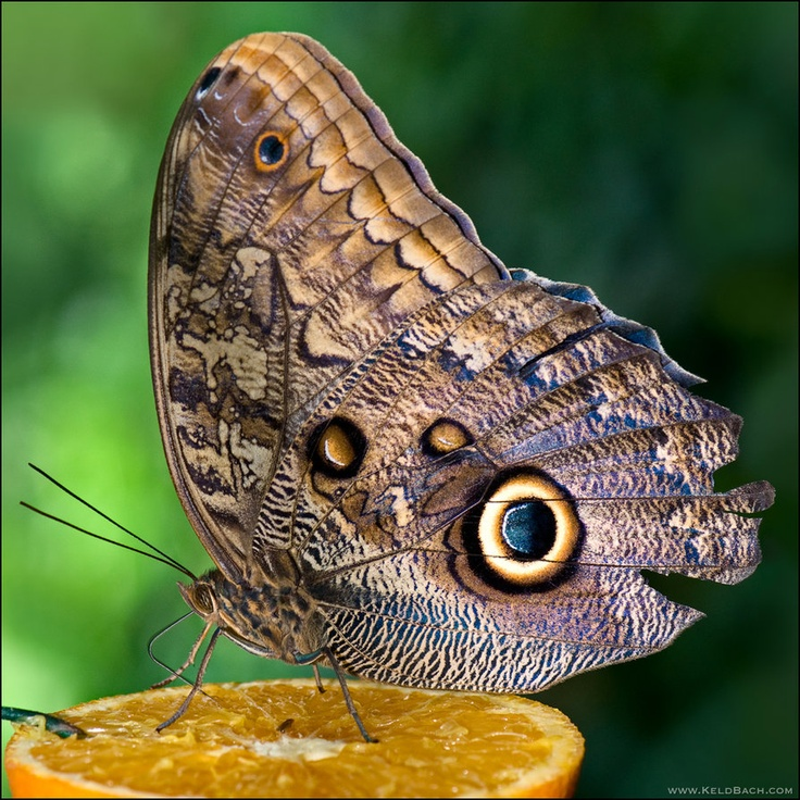 Owl butterfly - photo#8