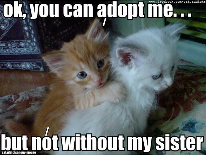adopt me and my sister c c l   crazy cat lady pinterest