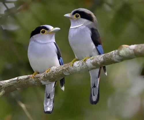 oh so pretty <3 Silver-Breasted Broadbill