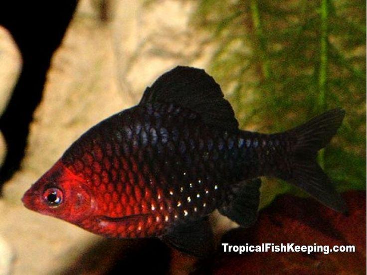 Long fin cherry barbs fish pinterest for Cherry barb fish